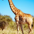 Wild giraffe - Stock Photo