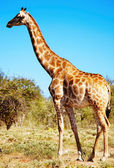 Wild giraffe — Stock Photo