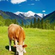 Grazing cow — Stock Photo #2516440