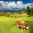Grazing cow — Stock Photo #2516467