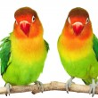 Stock Photo: Pair of lovebirds