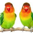 Pair of lovebirds - Stock Photo