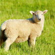Lamb — Stock Photo #2548077