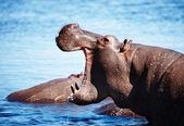 Selvaggio ippopotamo — Foto Stock
