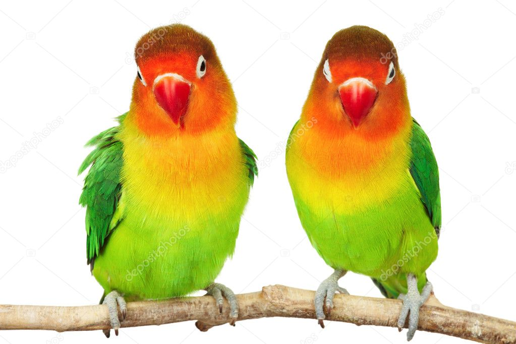 Pair of lovebirds agapornis-fischeri isolated on white — Stock Photo #2547618