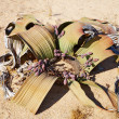 Welwitschia Mirabilis in Namib Desert - Stok fotoraf