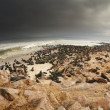 Colony of atlantic seals — Stockfoto