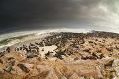 Kolonie atlantiku těsnění — Stock fotografie