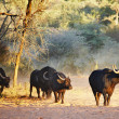 Stock Photo: Herd of buffaloes