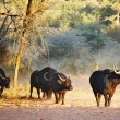 Stockfoto: Herd of buffaloes