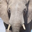 Elephant — Stock Photo #2676946