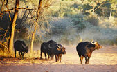 Herd of buffaloes — 图库照片