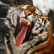 Stock Photo: Yawning tiger