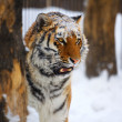 Stock Photo: Young tiger portrait.