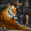 Royalty-Free Stock Photo: Tiger portrait