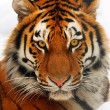 Tiger portrait — Stockfoto