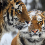 Tigers — Stock Photo #1653857