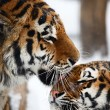 Tigers love — Stock Photo