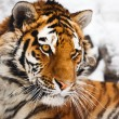 Tiger portrait — Stock Photo