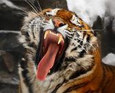 Yawning tiger — Stock Photo