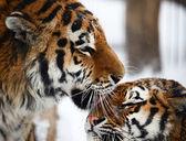 Tigers love — Stock Photo