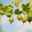 Stock Photo: Gooseberry branch