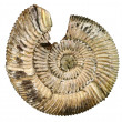 Stock Photo: Fossil seshell