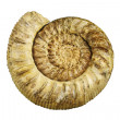 Fossil sea shell — Stock Photo
