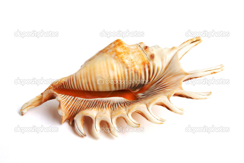 Sea shell isolated on white background  Stock Photo #1919663