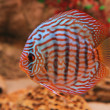 Tropical fish discus (Symphysodon) - Stock Photo