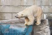 White bear in the zoo — Stock Photo