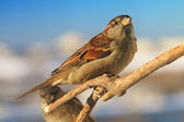 Sparrows on the branch — Stock Photo