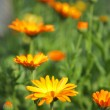 Calendula flowers - Stock Photo