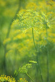 Green dill close-up photo — Stock Photo