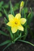 Blossoming daffodil — Stockfoto