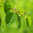 Green leaves on rain — Stock Photo #2070213