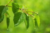 Green leaves on rain — Stock Photo