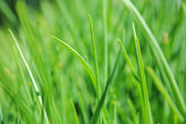 Green grass clouse-up view — Stock Photo