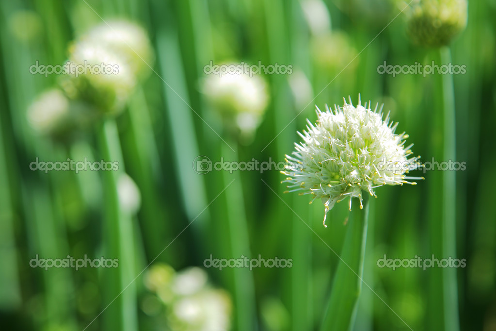 Blossoming onion — Stock Photo #2070331