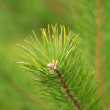 Branch of pine tree — Stock Photo