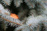 Fir-tree with autumnal leaf — Stock Photo