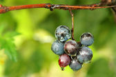 Grape bunch — Stock Photo