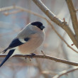 Bullfinch perched on a branch — Stock Photo #2565184
