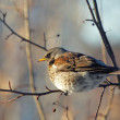Fieldfare perched on branch — Stock Photo #2565187