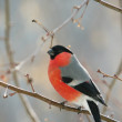 Bullfinch perched on a branch — Stock Photo #2565205