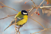 Tomtit perched on a branch — Stock Photo