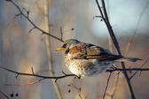 Fieldfare perched on a branch — Stock Photo