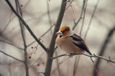 Grosbeak perched on a branch — Stock Photo