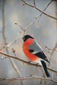 Bullfinch perched on a branch — Stock Photo