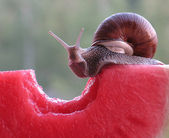Snail the glutton — Stock Photo